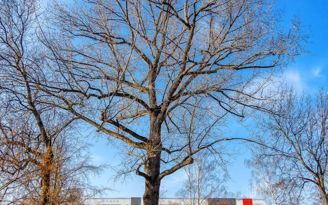 Alter Baum im Gera Park