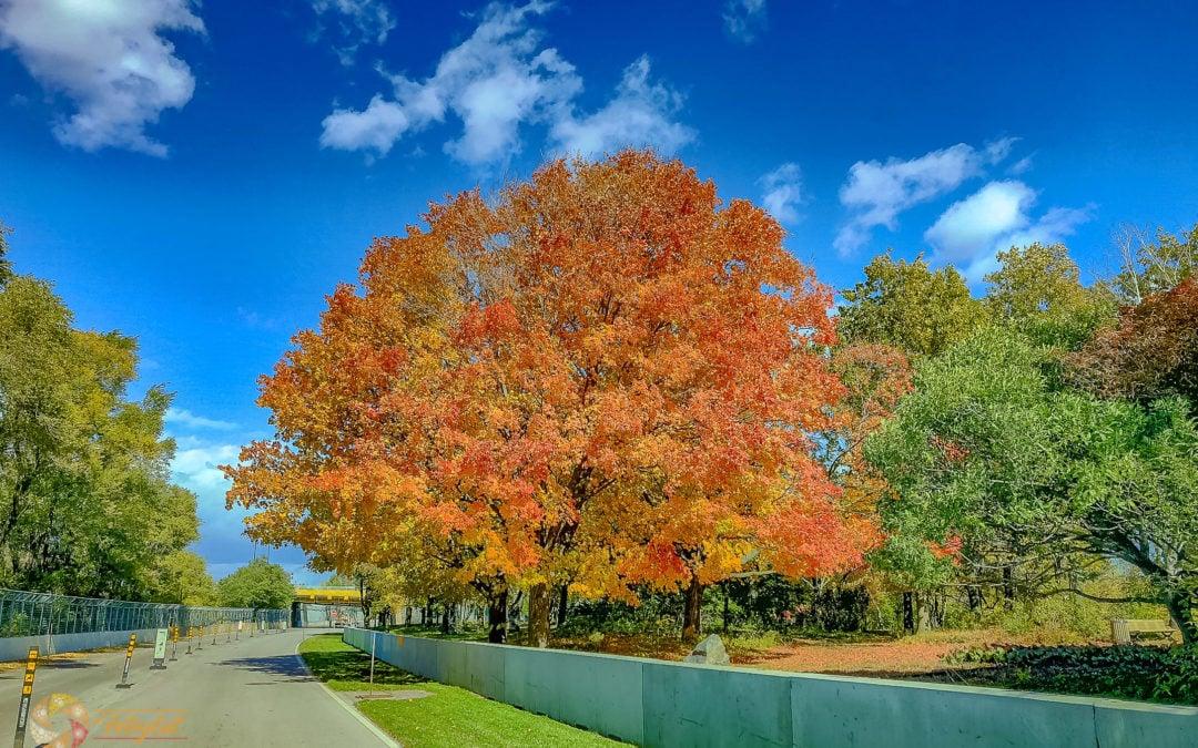 Circuit Gilles-Villeneuve – herbstlicher Baum an der Rennstrecke
